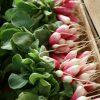 Corsica Ile Rousse perfect radishes